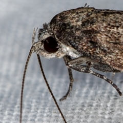 Oecophoridae (family) (Unidentified Oecophorid concealer moth) at Melba, ACT - 27 Feb 2021 by Bron