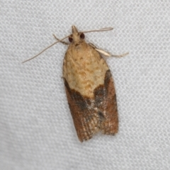 Epiphyas postvittana (Light Brown Apple Moth) at Melba, ACT - 27 Feb 2021 by Bron