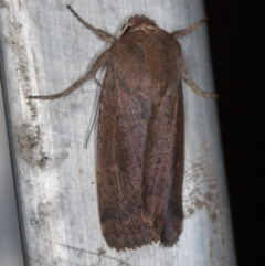 Proteuxoa porphyrescens (A Noctuid moth) at Melba, ACT - 27 Feb 2021 by Bron