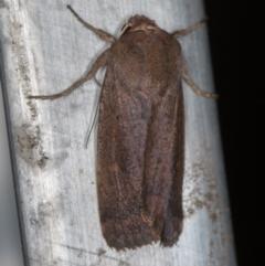 Proteuxoa porphyrescens (A Noctuid moth) at Melba, ACT - 27 Feb 2021 by Bron