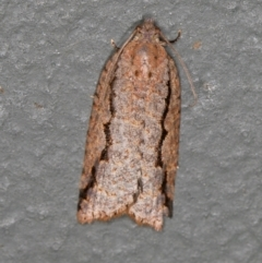 Meritastis undescribed species (A Tortricid moth) at Melba, ACT - 27 Feb 2021 by Bron