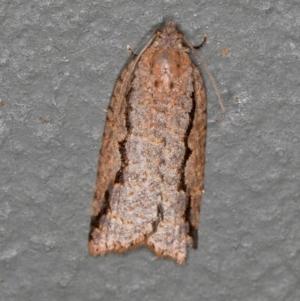 Meritastis undescribed species at Melba, ACT - 27 Feb 2021