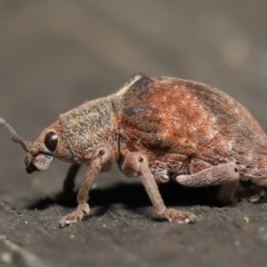 Gonipterus sp. (genus) (Eucalyptus Weevil) at ANBG - 16 Apr 2021 by TimL