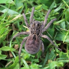 Tasmanicosa sp. (Wolf spider) at Moruya, NSW - 4 Feb 2021 by LisaH