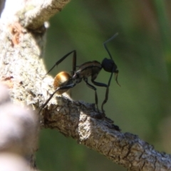 Polyrhachis ammon at suppressed - 2 Feb 2021