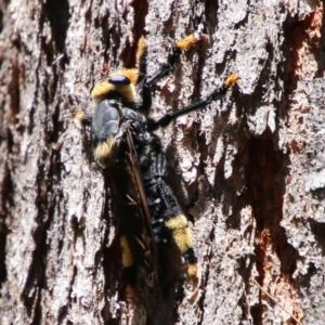 Phellus olgae (Robber fly) at suppressed by LisaH