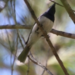 Myiagra (Myiagra) cyanoleuca (Satin Flycatcher) at suppressed - 2 Feb 2021 by LisaH