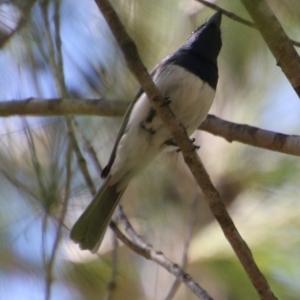 Myiagra (Myiagra) cyanoleuca (Satin Flycatcher) at suppressed by LisaH
