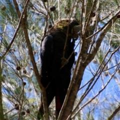 Calyptorhynchus lathami (Glossy Black-cockatoo) at suppressed - 2 Feb 2021 by LisaH