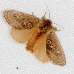 Doratifera quadriguttata and casta (Four-spotted Cup Moth) at Melba, ACT - 25 Jan 2021 by Bron
