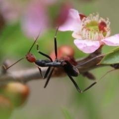 Leptomyrmex erythrocephalus (Spider ant) at suppressed - 3 Feb 2021 by LisaH