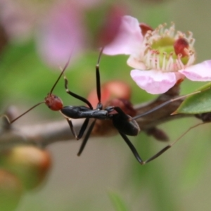 Leptomyrmex erythrocephalus (Spider ant) at suppressed by LisaH