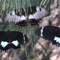 Papilio anactus (TBC) at Moruya, NSW - 3 Feb 2021 by LisaH