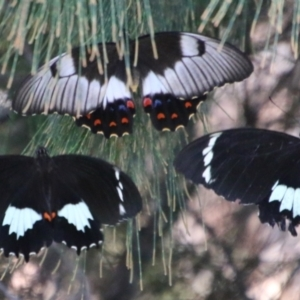 Papilio anactus (TBC) at suppressed by LisaH