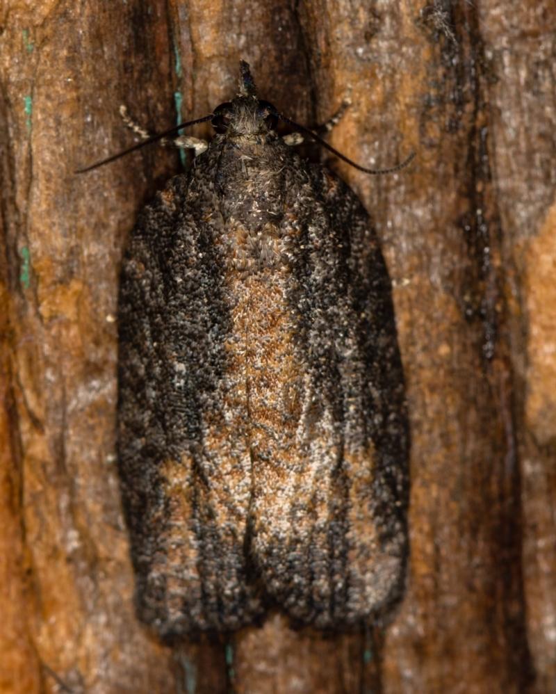 Tortricinae (subfamily) at Melba, ACT - 25 Jan 2021