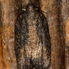 Tortricinae (subfamily) (A tortrix moth) at Melba, ACT - 24 Jan 2021 by Bron