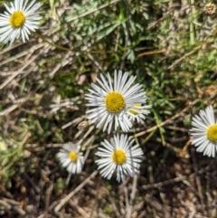 Brachyscome dentata (Lobe-seed Daisy) at Mount Majura - 18 Apr 2021 by WalterEgo