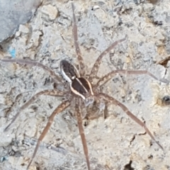 Pisauridae sp. (family) (TBC) at Holt, ACT - 18 Apr 2021 by tpreston