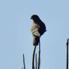 Falco berigora (Brown Falcon) at Molonglo, ACT - 18 Apr 2021 by KMcCue