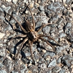 Unidentified Wolf spider (Lycosidae) (TBC) at Denman Prospect, ACT - 18 Apr 2021 by KMcCue