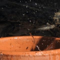 Malurus cyaneus (TBC) at Aranda, ACT - 18 Apr 2021 by KMcCue