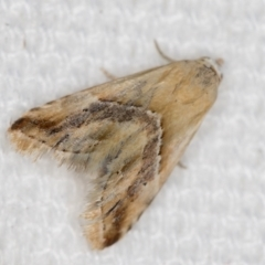 Heliocosma argyroleuca (A tortrix or leafroller moth) at Melba, ACT - 25 Jan 2021 by Bron