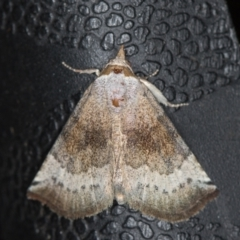 Mataeomera mesotaenia (Mini Owlet Moth) at Melba, ACT - 25 Jan 2021 by Bron