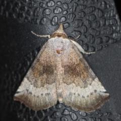 Mataeomera mesotaenia (Mini Owlet Moth) at Melba, ACT - 25 Jan 2021 by Bron