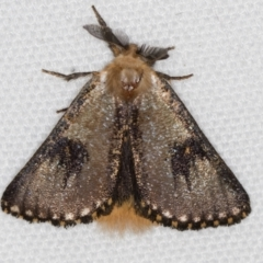 Epicoma contristis (Yellow-spotted Epicoma Moth) at Melba, ACT - 25 Jan 2021 by Bron
