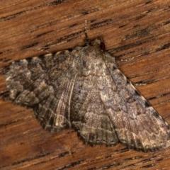 Diatenes aglossoides (An Eribid moth) at Melba, ACT - 25 Jan 2021 by Bron
