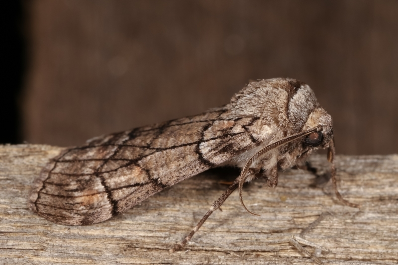Stibaroma undescribed species at Melba, ACT - 15 Apr 2021