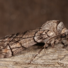 Stibaroma undescribed species (A Line-moth) at Melba, ACT - 14 Apr 2021 by kasiaaus