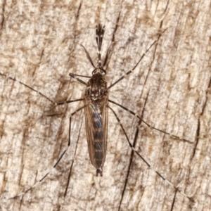 Culicidae sp. (family) at Melba, ACT - 15 Apr 2021