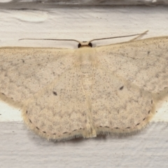 Scopula optivata (Varied Wave) at Melba, ACT - 14 Apr 2021 by kasiaaus