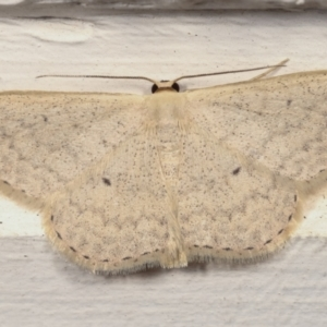 Scopula optivata at Melba, ACT - 15 Apr 2021
