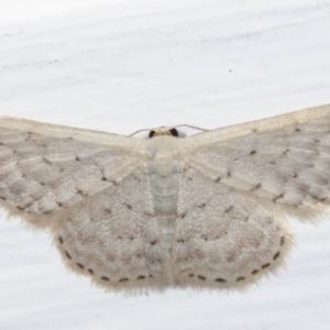 Idaea philocosma at Melba, ACT - 15 Apr 2021