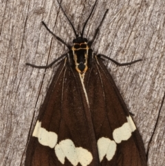 Nyctemera amicus (Senecio or Magpie moth) at Melba, ACT - 15 Apr 2021 by kasiaaus