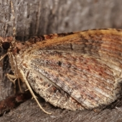 Larentiinae (subfamily) (A geometer moth) at Melba, ACT - 15 Apr 2021 by kasiaaus