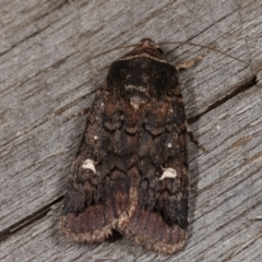 Proteuxoa (genus) (A Noctuid Moth) at Melba, ACT - 15 Apr 2021 by kasiaaus