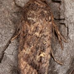 Proteuxoa (genus) at Melba, ACT - 15 Apr 2021