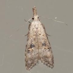 Carposina telesia (A Fruitworm moth (Family Carposinidae)) at Melba, ACT - 16 Apr 2021 by kasiaaus