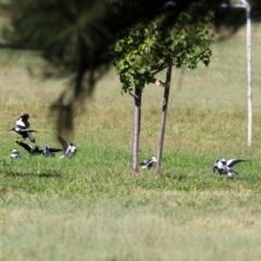Gymnorhina tibicen (Australian Magpie) at Wanniassa, ACT - 18 Apr 2021 by RodDeb