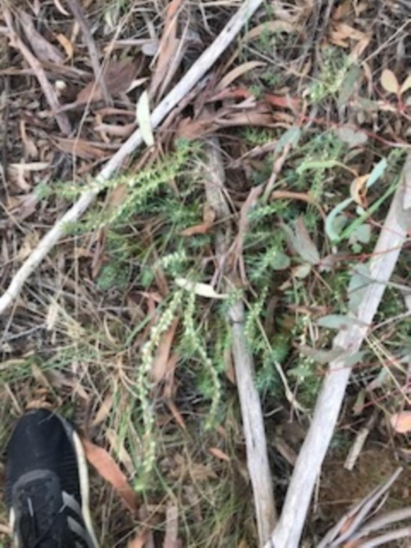Melichrus urceolatus at Dryandra St Woodland - 6 Apr 2021