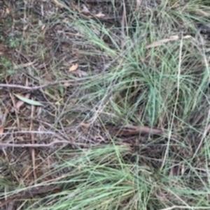 Eragrostis curvula at Dryandra St Woodland - 6 Apr 2021