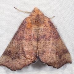 Mnesampela privata (Autumn Gum Moth) at Melba, ACT - 16 Apr 2021 by kasiaaus