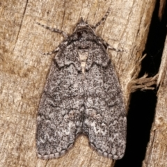 Smyriodes undescribed species nr aplectaria at Melba, ACT - 16 Apr 2021 by kasiaaus