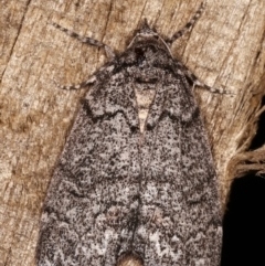 Smyriodes undescribed species nr aplectaria at Melba, ACT - 16 Apr 2021