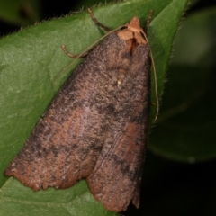 Fisera eribola (Orange-hooded Crest-moth) at Melba, ACT - 16 Apr 2021 by kasiaaus