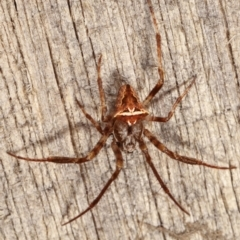 Unidentified Spider (Araneae) (TBC) at Melba, ACT - 17 Apr 2021 by kasiaaus