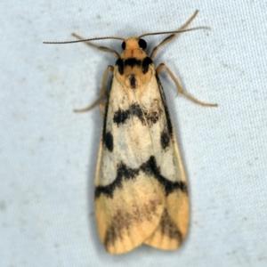 Tigrioides alterna at Deua National Park (CNM area) - 16 Apr 2021